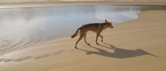 Dingo Trotting  | Fraser Island Retreat | Happy Valley
