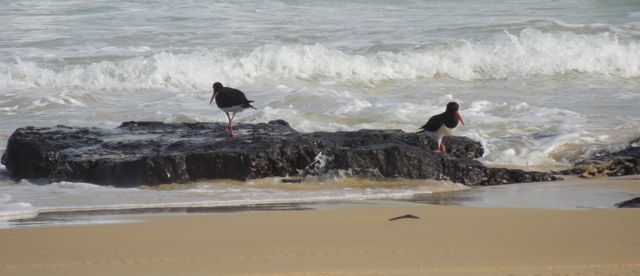 Oyster-catchers | Fraser Island Retreat | Happy Valley
