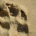 Dingo Footprint  | Fraser Island Retreat | Happy Valley