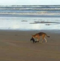 Dingo with Bird  | Fraser Island Retreat | Happy Valley