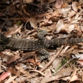 Goanna  | Fraser Island Retreat | Happy Valley