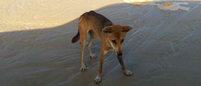 Young dingo | Fraser Island Retreat | Happy Valley